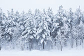 Forest trees covered in snow — Stock Photo