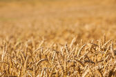 Golden color wheat background — Stock Photo