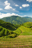 Vertical landscape photo of rice terraces in china — Stock Photo