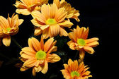 Gele bloemen in zwarte blackground — Stockfoto