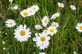 Group of daisy flowers in meadow — Stok fotoğraf