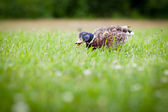 Funny duck eating grass — Stock Photo