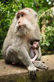 Breastfeeding monkey — Stockfoto