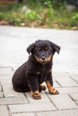 Black puppy sitting looking to camera — Stockfoto