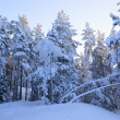 Snowcapped trees forest — Stock Photo