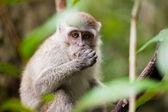 Wild monkey eating — Stock Photo