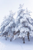 Trees full of snow — Stock Photo