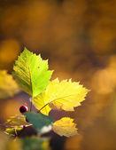 Beautiful colorful autumn leafs — Stock Photo