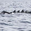 Wild dolphins indonesia — Stock Photo