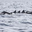 Wild dolphins indonesia — Stock Photo #41521347
