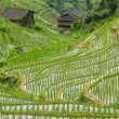 Rice fields in longshen china — Stock Photo