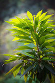 Lush green plant with big leaves — Stock fotografie