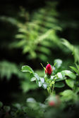 Rosebud in nature — Stock Photo
