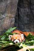 Cute red panda laying down — Stock Photo