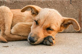 Young stray dog sleeping — Stok fotoğraf