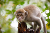 Wild monkey looking to camera — Stock Photo