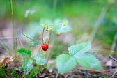 Fresh natural wild strawberry — Foto de Stock