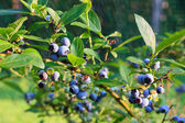 Blueberries ripening on the bush — Stock Photo