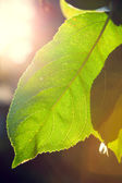 Backlit leaft in a tree — Stock Photo