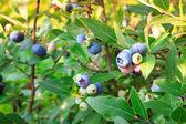 Blueberries ripening on the bush — Stock Photo