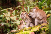 Monkey family taking care of each others — Stock Photo