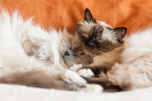 Two sacred birman cats sleeping — Stock Photo
