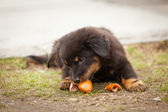 Cute black stray puppy eating — Stock Photo