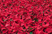 Background of many poinsettia flowers — Stock Photo