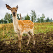 Little deer - Stock Photo