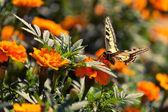 Mariposa sobre una flor de naranja — Foto de Stock