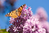Butterfly on a lilac flower — Stock Photo