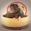 Stock Photo: Two rats surprise in basket