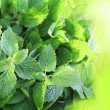 Stock Photo: Fresh mint leaves