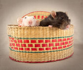 Two rats surprise in the basket — Stock Photo