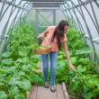 Young happy woman harvests in the greenhouse — Stock Photo