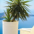 Plant in a flowerpot against the sea in Santorini — Stock Photo