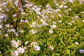 White daisies in the garden — Stock Photo