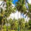 Coconut Palm trees on the sandy beach in Seyshelles — Stock Photo