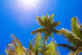 Coconut Palm tree on the sandy beach in Seyshelles — Stock Photo