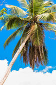 Tropical coconut palm tree in Seyshelles background the sky — Stock Photo