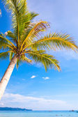 Coconut Palm tree on the sandy beach background blue sky — Stock Photo