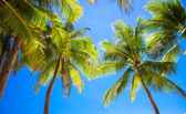 Coconut Palm tree on the sandy beach in Philippines — Stock Photo