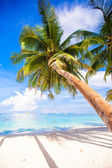 Coconut Palm tree on the white sandy beach — Fotografia Stock