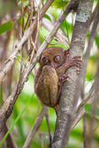 Small funny tarsier on the tree in natural environment at Bohol island, Philippines — Stock Photo