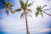 Coconut Palm tree background blue sky — 图库照片