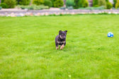 Small puppy mongrel on background of green grass outdors play with ball — Stock Photo