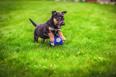 Small puppy mongrel on background of green grass outdoors play with ball — Stock Photo