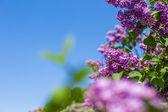 Fragrant lilac bush in the spring garden — Stock Photo