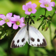 A white butterfly gather honey — Foto Stock
