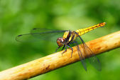 Golden Yellow Dragonfly — Stock Photo